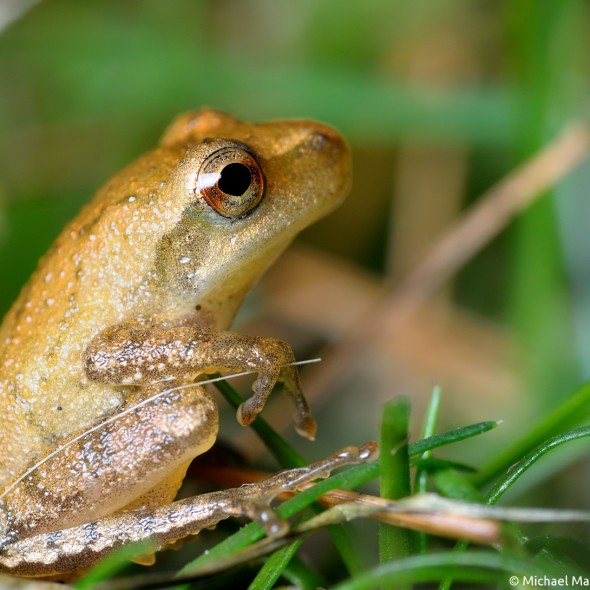 peeper frog sitting up