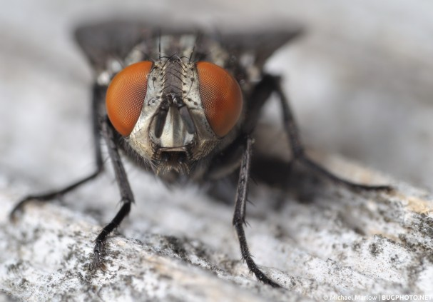 flesh fly with large bright red eyes front facing