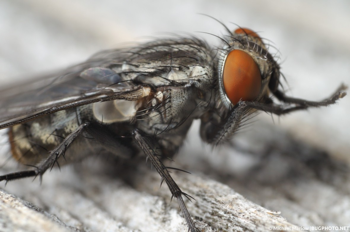 flesh fly with large bright red eyes lateral cleaning legs