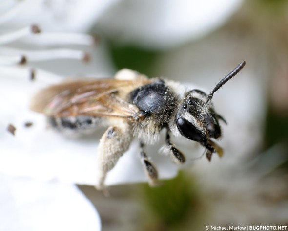 sweat bee covered in near-white pollen