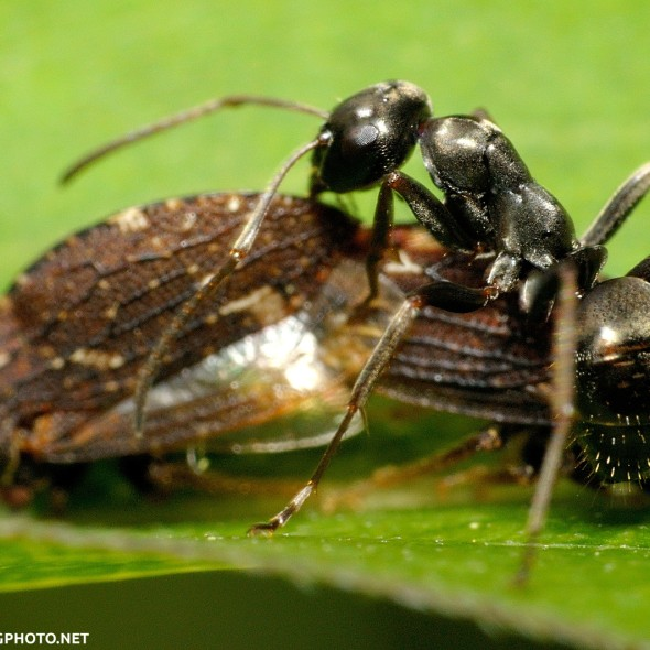 ant tending mating treehoppers