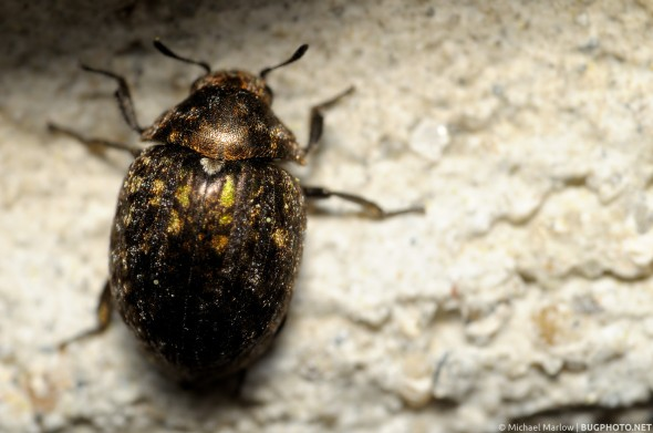 unidentified dark brown partly iridescent beetle