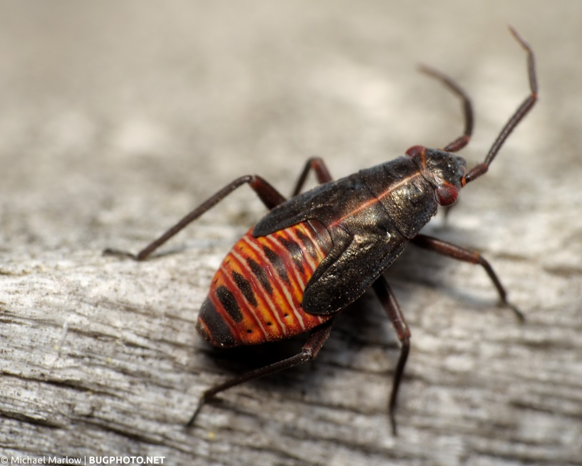 plant bug nymph with red and yellow striped abdomen