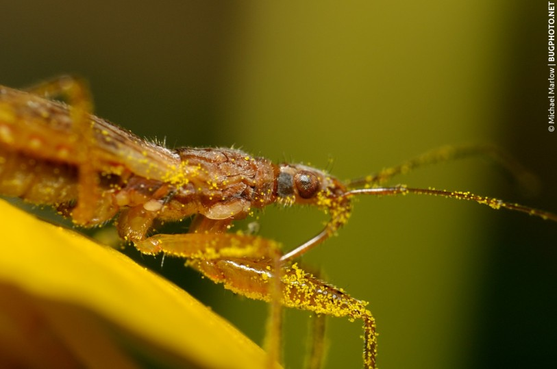 pollen covered damsel bug resting on yellow flower petal