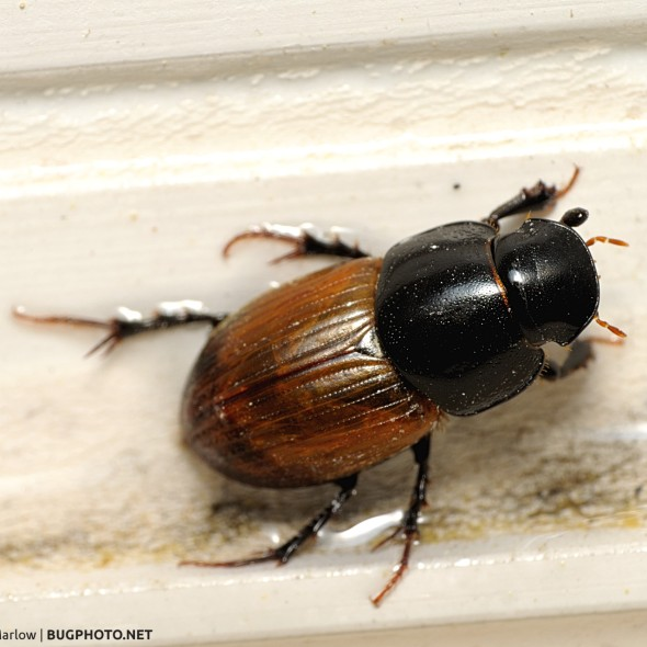 Aphodiine dung beetle on outside window case