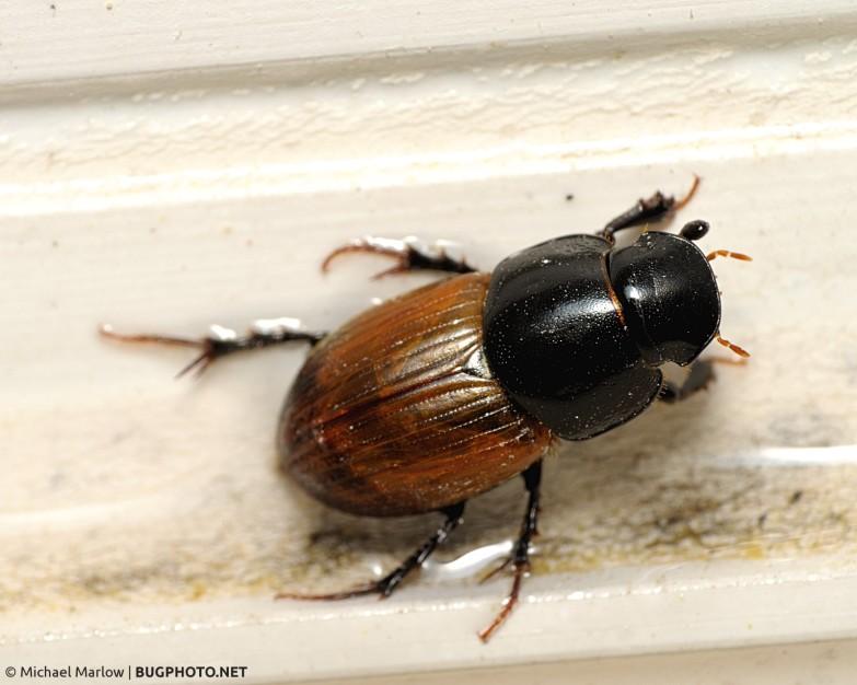 Aphodiine dung beetle on outside window case