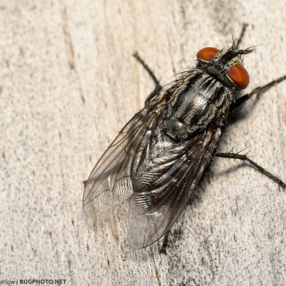 flesh fly dorsal view