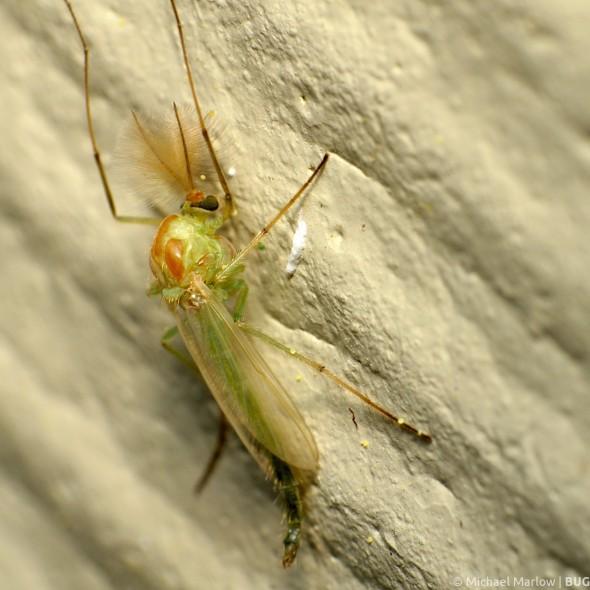 green bodied midge with bushy antennae