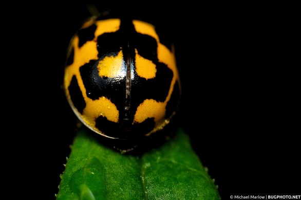 yellow and black lady beetle perched on leaf