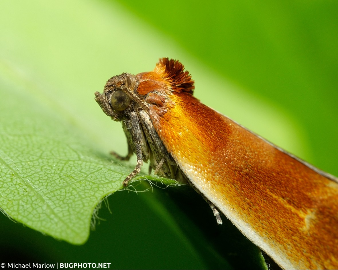 unidentified moth with orange and reddish brown wings
