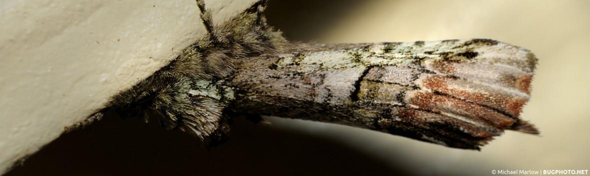 possible unicorn caterpillar moth hanging horizontally on siding