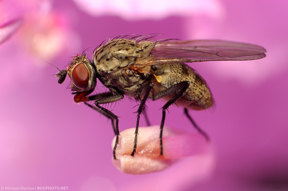 muscid fly sitting on pink rhododendron anther