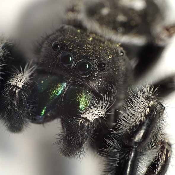 Phidippus audax jumping spider face