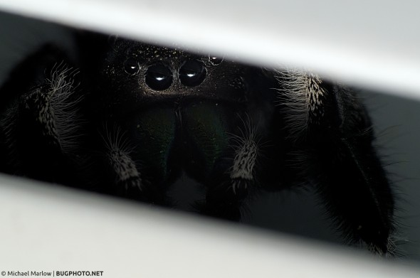 phidippus audax jumping spider in the shadows of white vinyl window