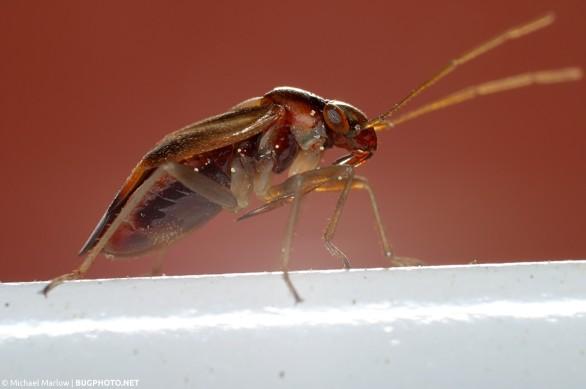 mirid plant bug on white metal strip with glare