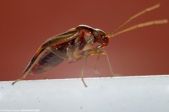 mirid plant bug on white metal strip