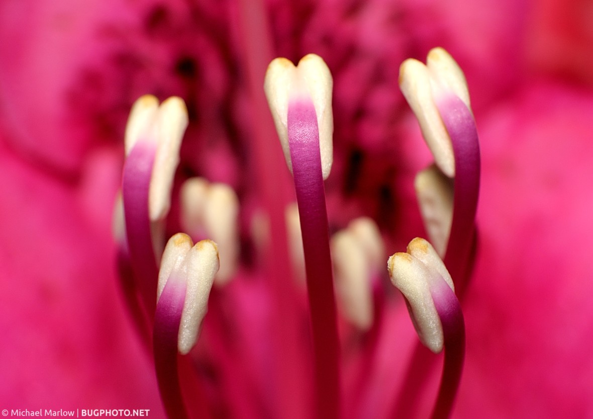 anthers of a red rhododendron flower