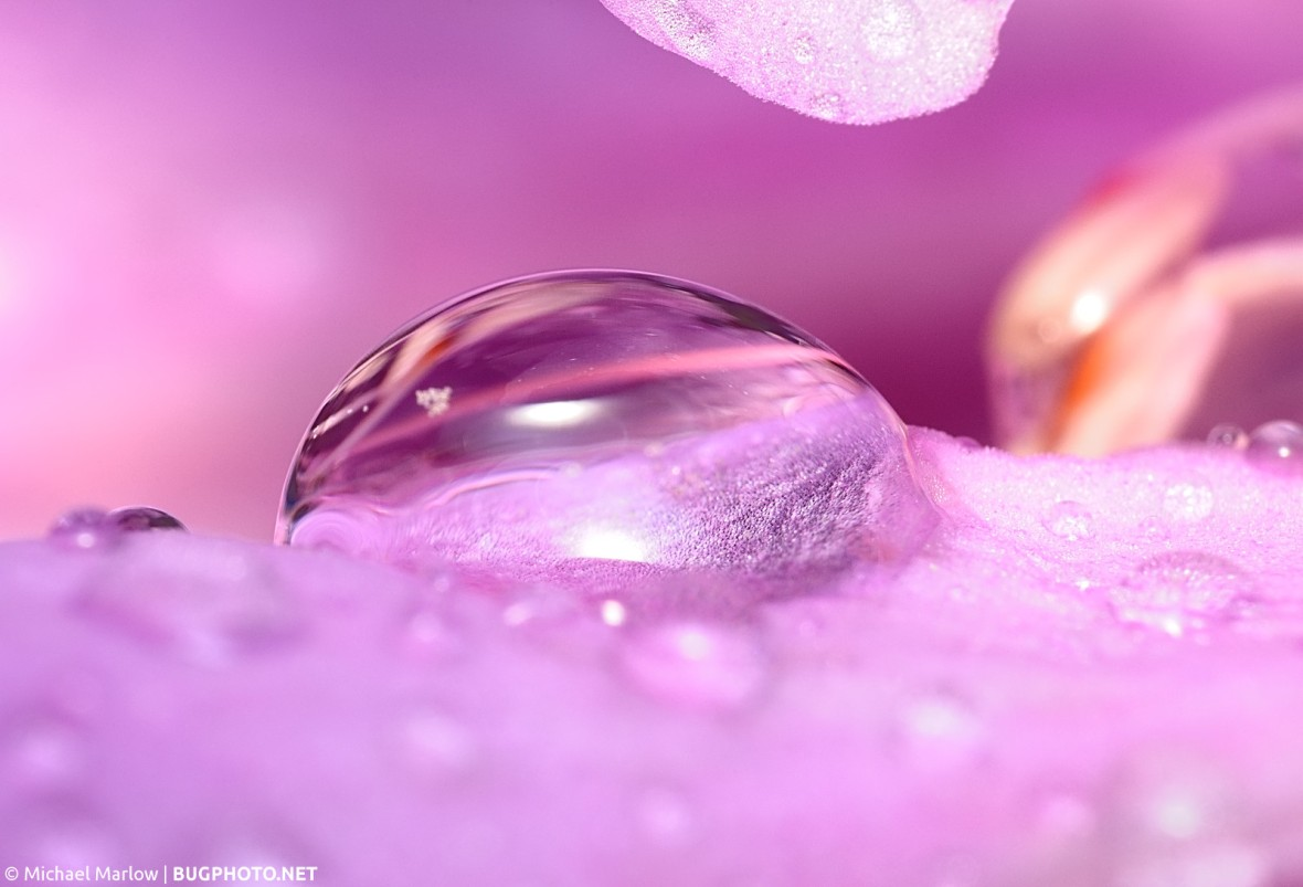 rain drop on pink rhodoendron flower petal