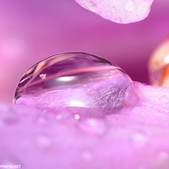 rain drop on pink rhodoendron flower petal
