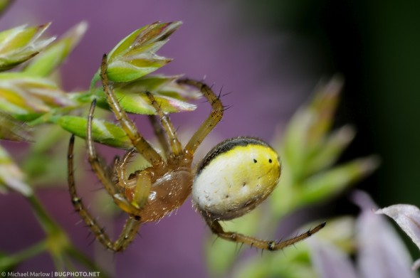 six-spotted orbweaver crawling on grass