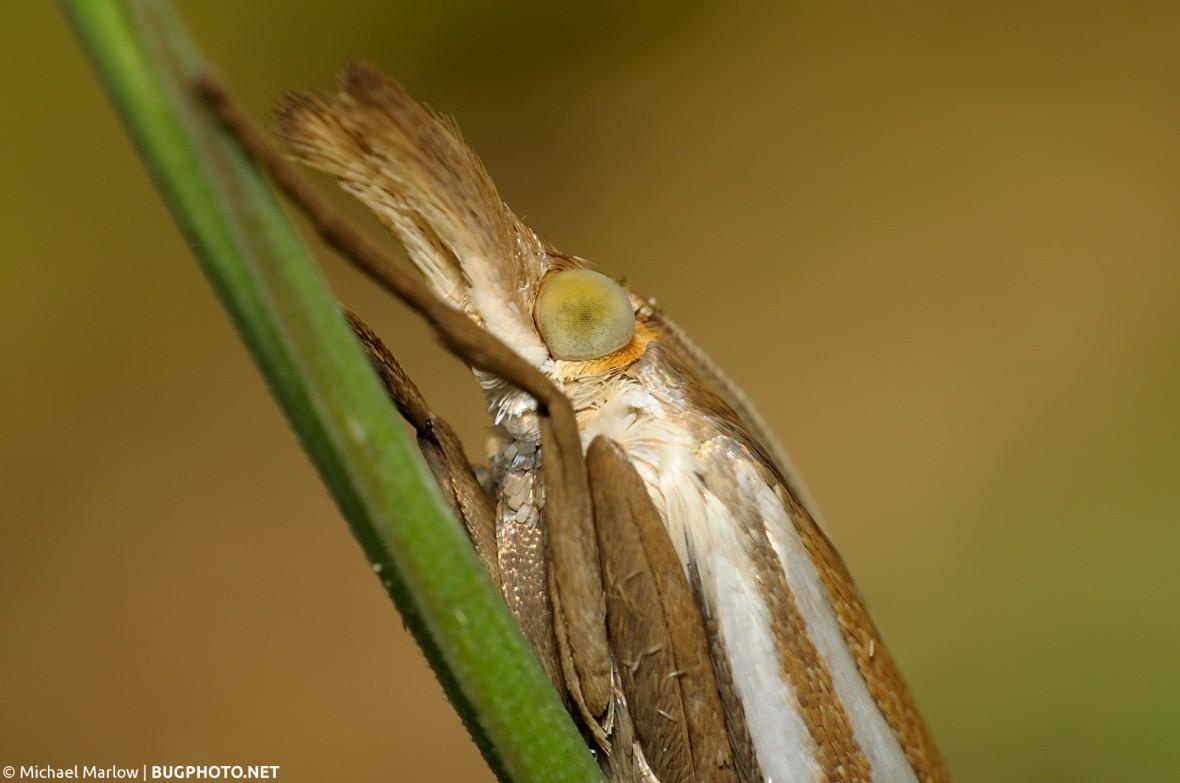 Crambus snout moth portrait