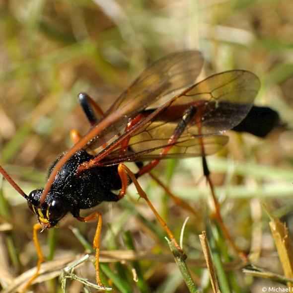 parasitic wasp walking in the grass