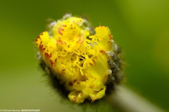 a half-opened yellow weed flower
