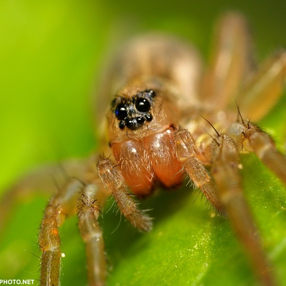 face of a small wolf spider