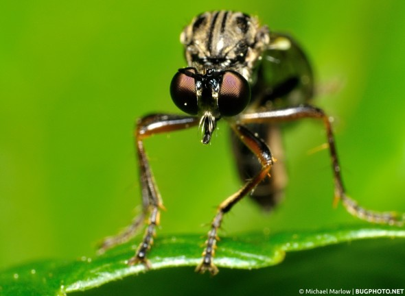 dioctria robber fly facing view