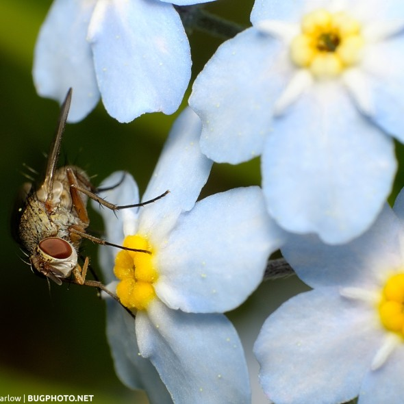 fly feeding on forget-me-not flowers