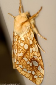 full-body view of hickory tussock moth resting on beige plast barrel
