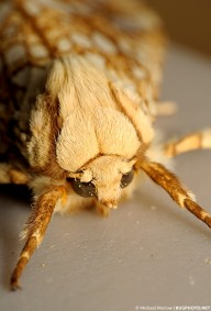 facing view of head of a hickory tussock moth