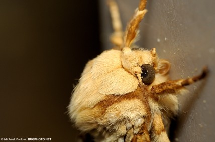 profile of head of a hickory tussock moth