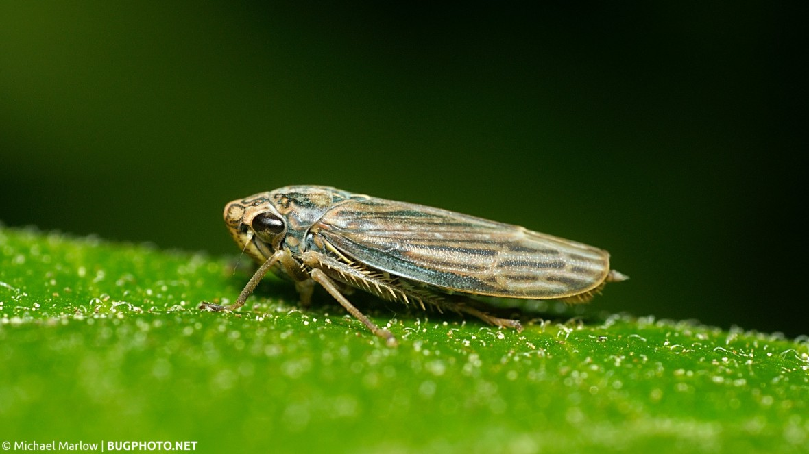 a brown leafhopper