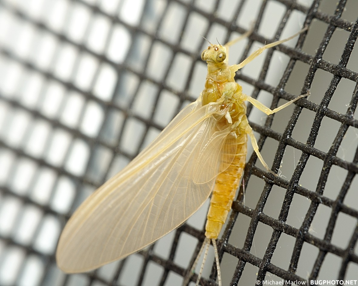 full body view of mayfly resting on window screen
