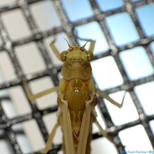 dorsal view of head and thorax of mayfly resting on window screen