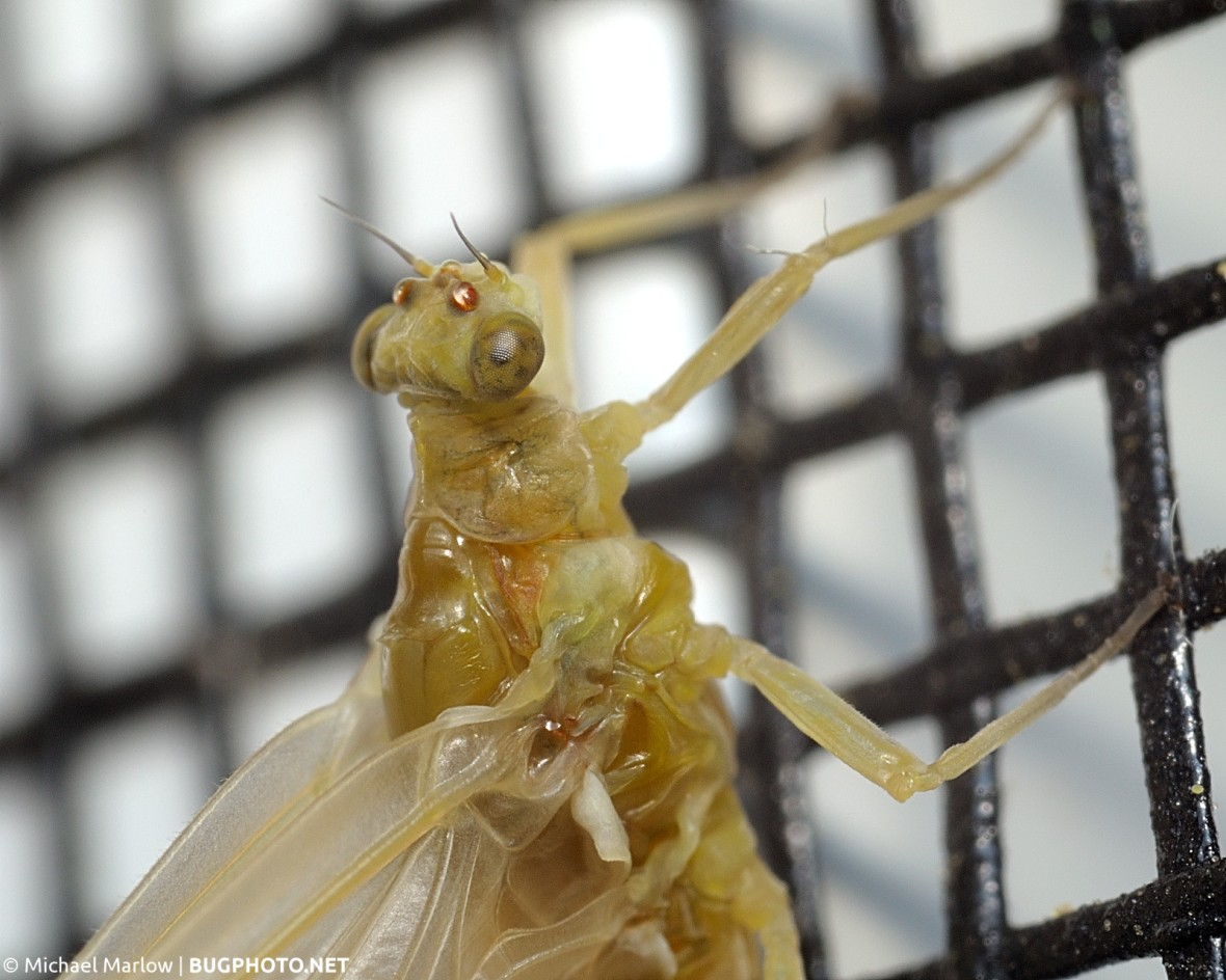 head and thorax of mayfly resting on window screen