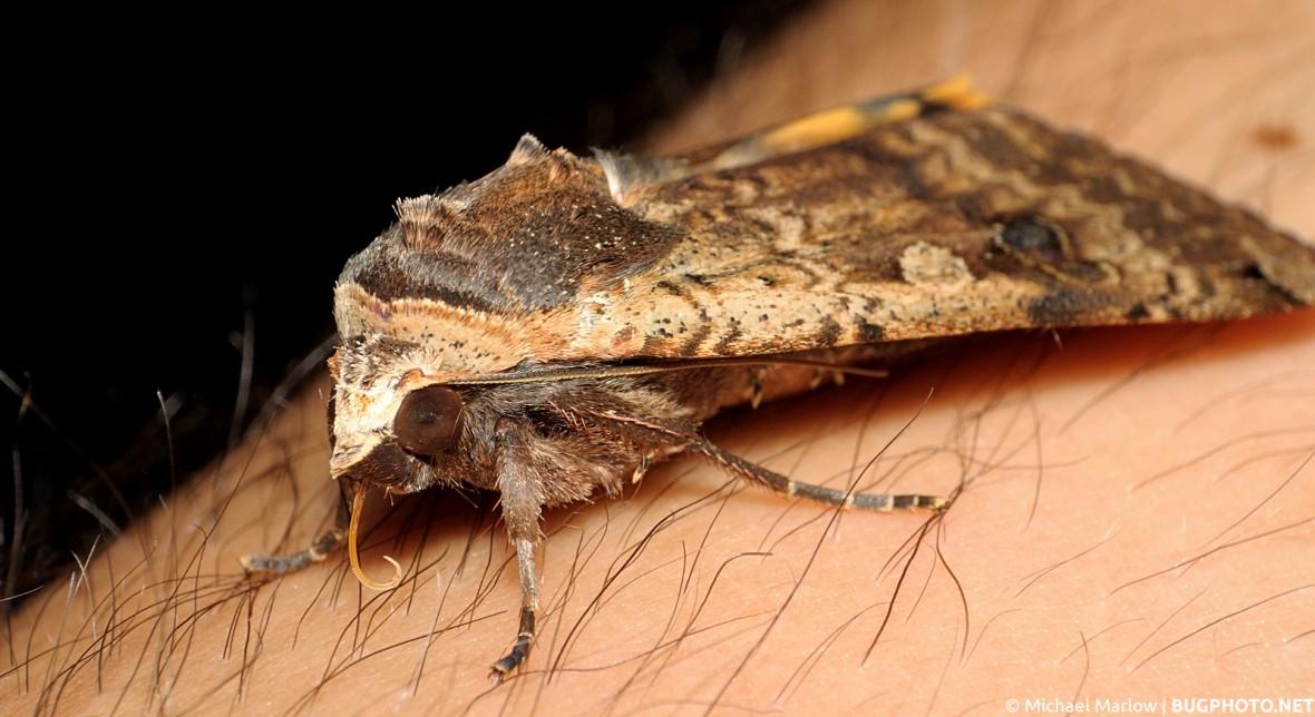 owlet moth sitting on hairy human skin