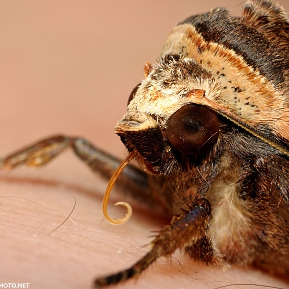 head with partially unfurled proboscis of owlet moth resting on human skin