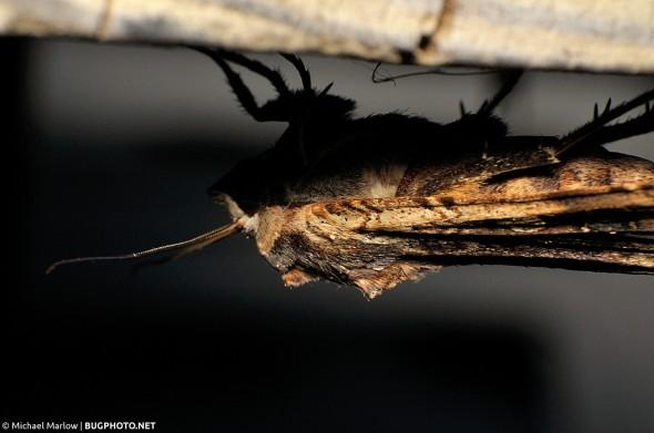 owlet moth under a wooden deck railing