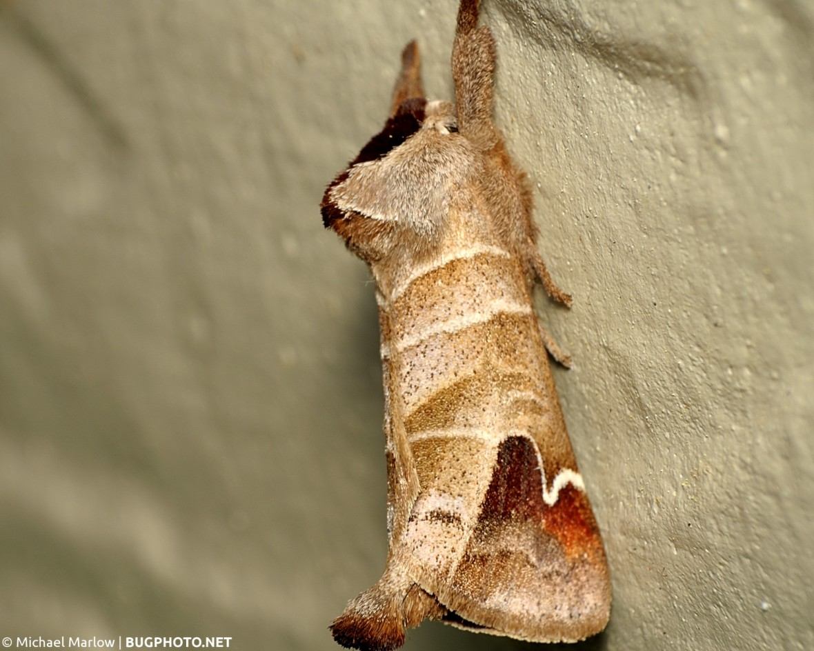 Prominent moth Clostera species at rest on wall
