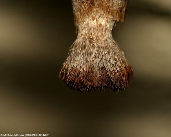 "bushy ""tail"" of abdomen of Prominent moth Clostera species"