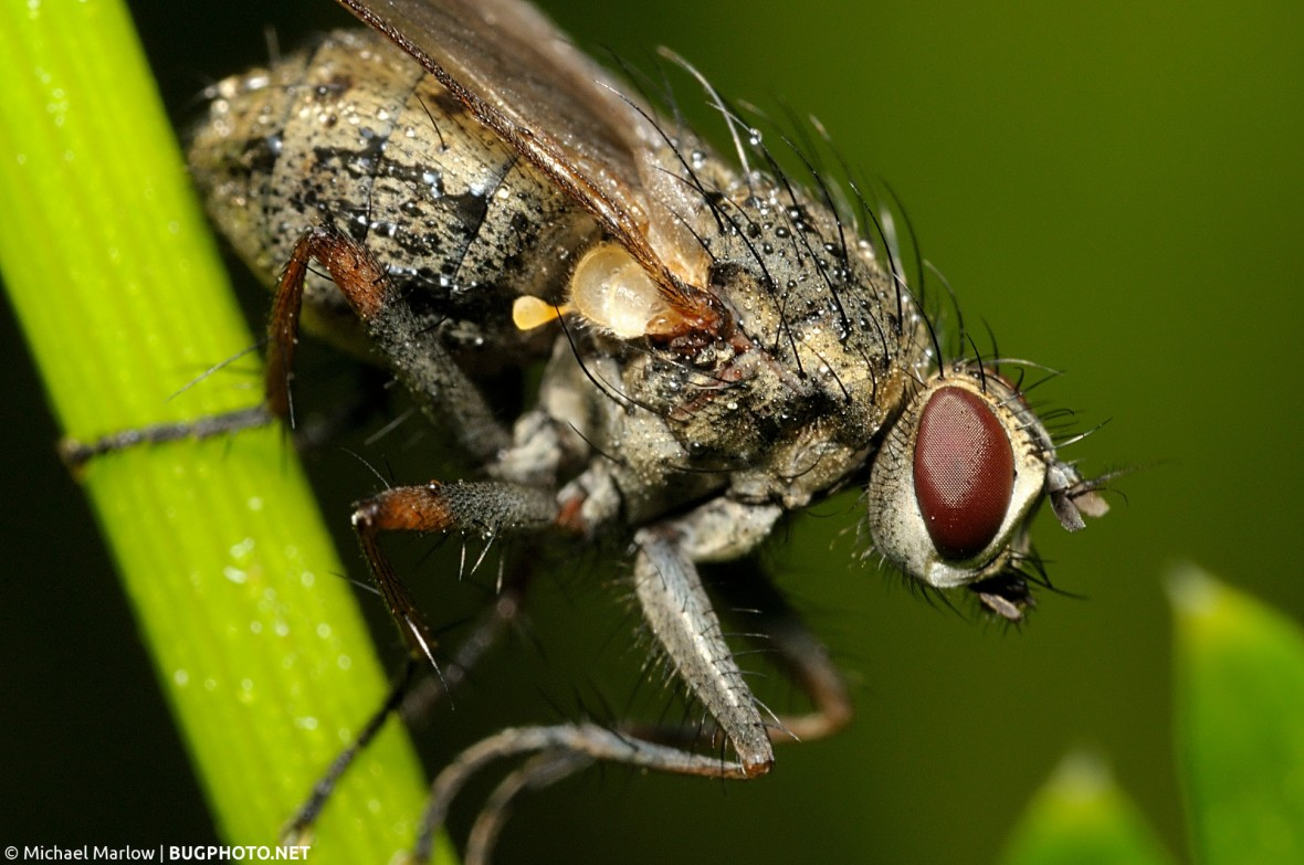 muscid fly with morning dew