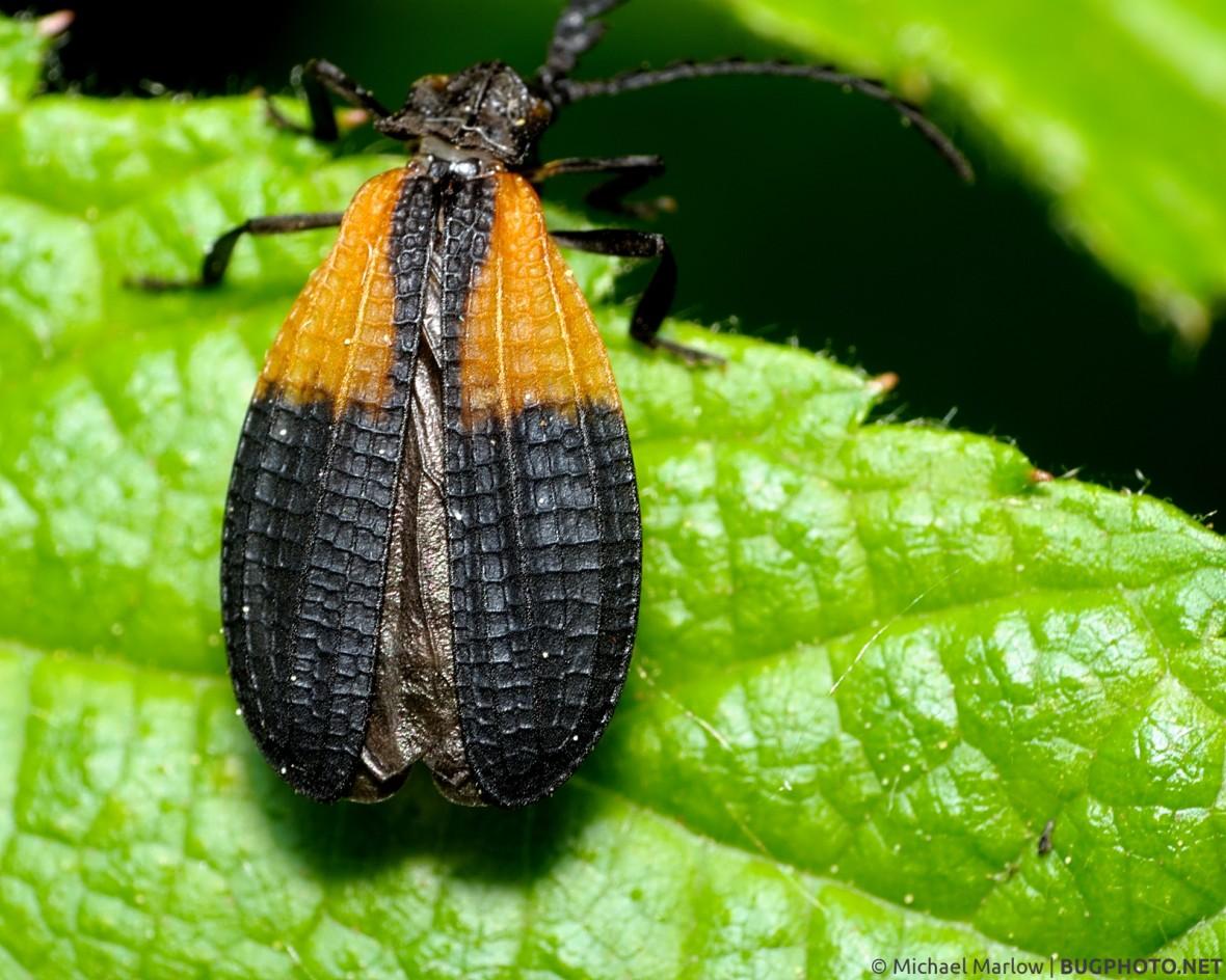 slightly-spread orange and black wings of net-winged beetle