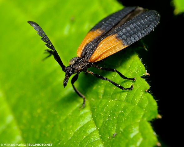 orange and black net-winged beetle perched on a leaf
