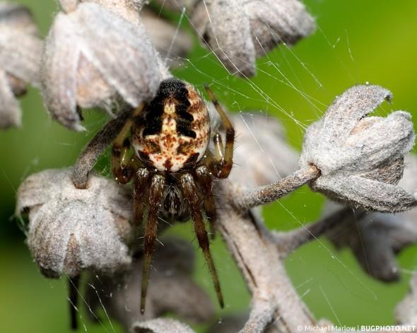 orbweaver spider nestled in dead dry plant