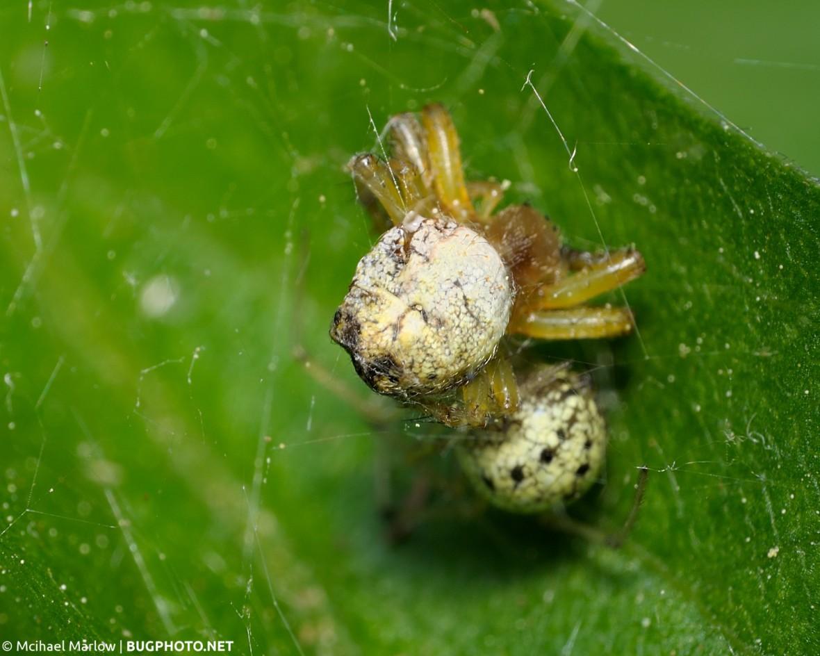 cobweb spider hiding under its apparent orbweaver prey
