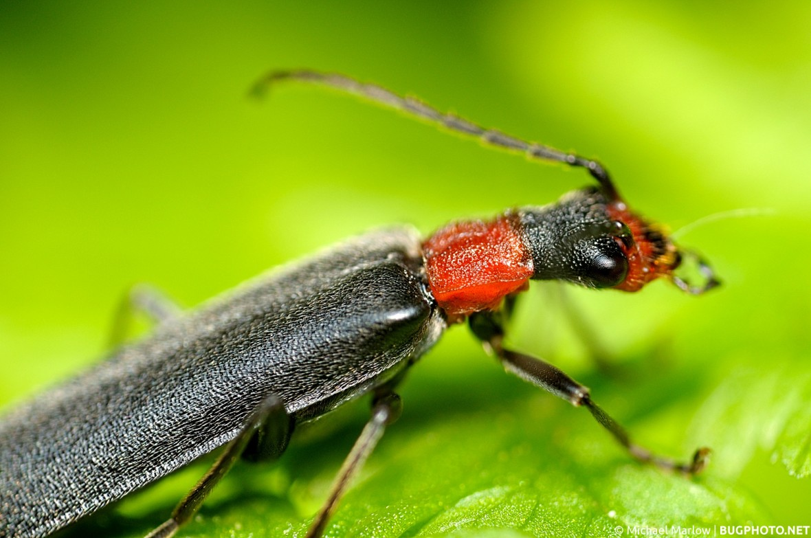 soldier beetle with black elytra and red pronotum