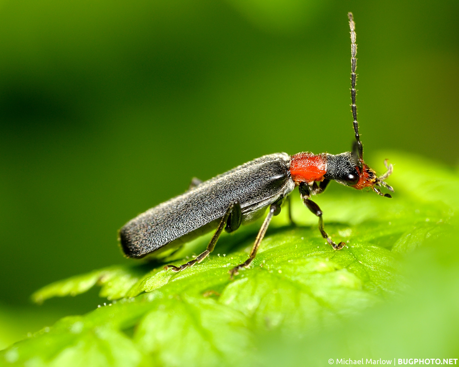 soldier beetle on � bugphotonet