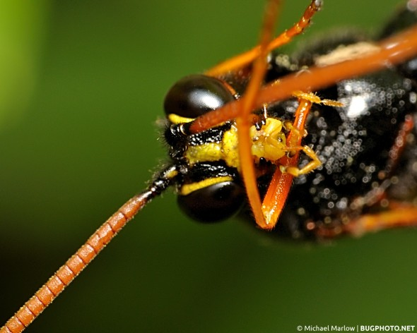 portrait of parasitoid wasp cleaning itself
